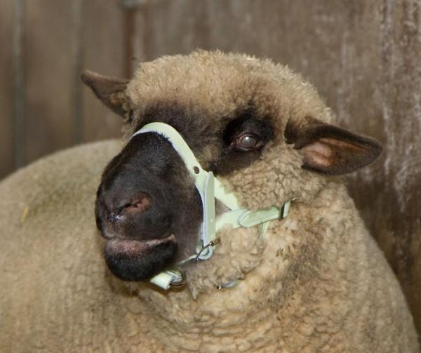 Kopfhalfter für Schafe und Böcke, Halfter aus Leder, weiß