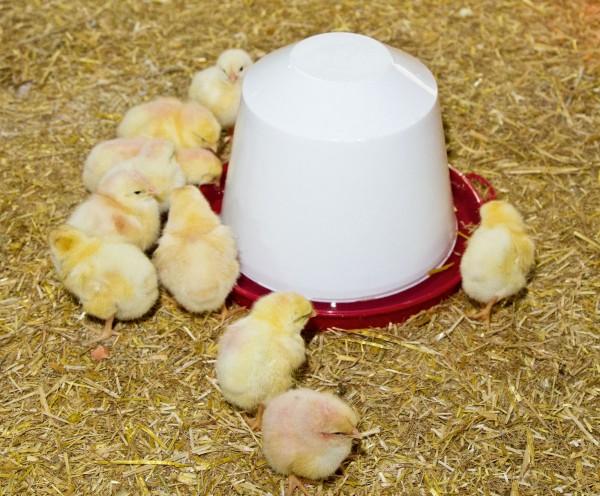 Kunststofftränke in 4 Größen, lebensmittelechte Stülptränke für die Wasserversorgung von Küken und Hühnern
