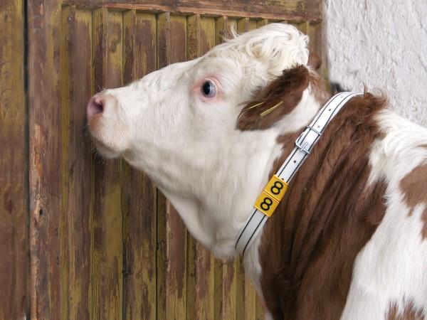 Halsmarkierungsgurt für Rinder mit praktischer Rollschnalle in drei Größen lieferbar