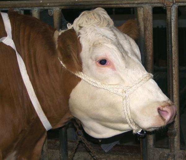 Sisalhalfter für Kühe und Jungbullen mit verzinktem Ring