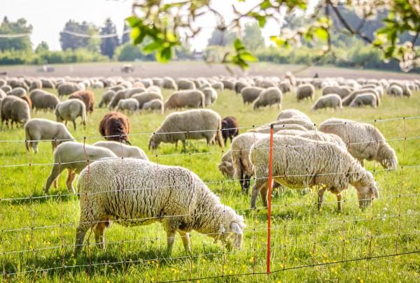 TopLine Net Weidezaunnetz für Schafe, Elektrozaun mit orangen Kunststoffstreben