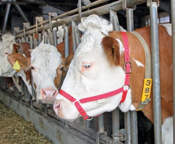 Vorführhalfter für Rinder, preiswertes Halfter doppelt verstellbar, rot